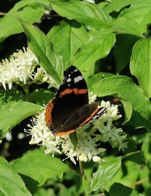 Vlinders fotograferen met geluk