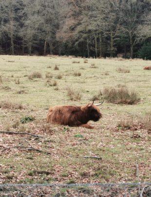 Schotse Hooglander op de Carolinahoeve